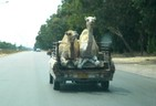 Hitchhiking Camels, Libya (Photo)