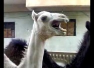 Laughing Camels are the Best
