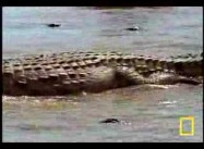 Video of the Day: The Nile Crocodile v. Wildebeest
