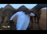 Some Saudis Kiss their Camels to defy Gov't MERS Warning