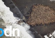 "35,000 Walruses Can't be Wrong about Climate Change:  Crowd beach b/c ""extreme retreat of sea ice"""