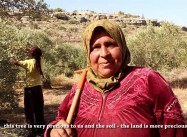 Israeli Squatters beat up woman picking olives in Palestinian West Bank (400 Attacks a Year)
