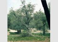 Why Israelis have cut down 800,000 Palestinian Olive Trees