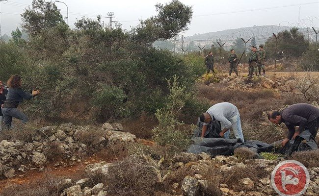 Widespread theft of Palestinian olive harvest by Israeli Squatters