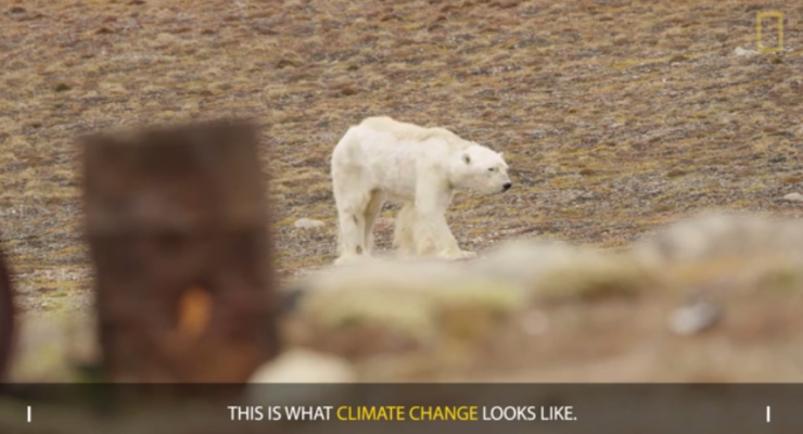 Starving Polar Bear on Iceless Land: Heart-Wrenching Climate Change Video: