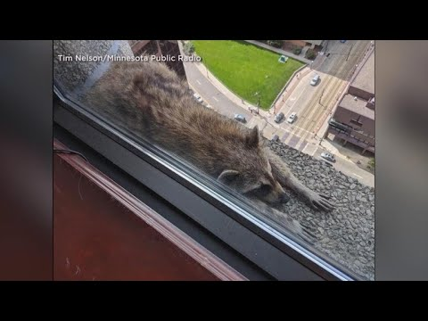 Americans cheer for #MPRraccoon in Skyscraper Climb but are often Unsympathetic to Climb of Immigrants (Video)