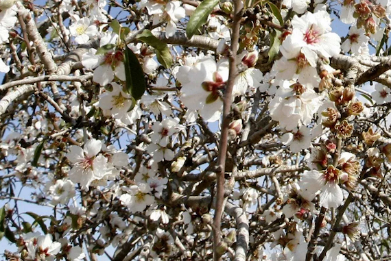 Can Gaza's Venerable Almond Groves survive the Israeli Occupation?