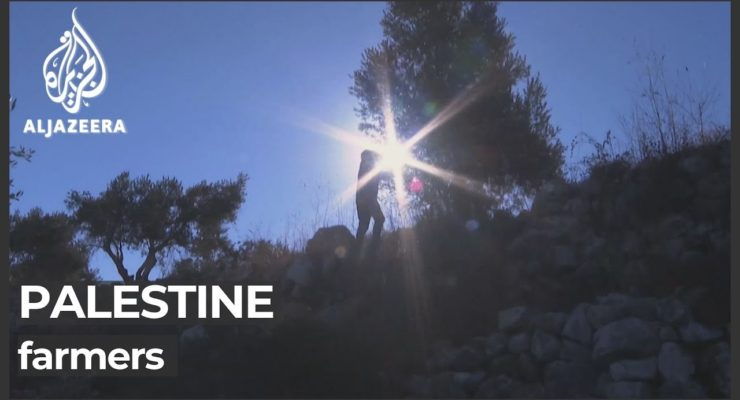Band of 30 militant Israeli Squatters attack Palestinian Farmers, Steal Olive Harvest in continued Sabotage that has seen 1 mn Olive Trees destroyed by Israelis since 1967